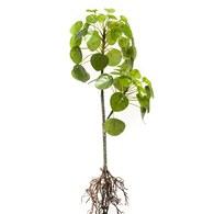 荷蘭 Emerald人造植物 鏡面草植栽